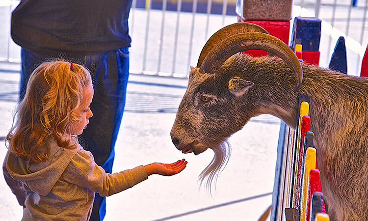 Young girl holder her hand out to feed a goat with large horns.
