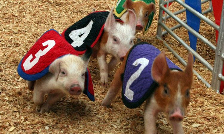 Cute baby pigs racing.